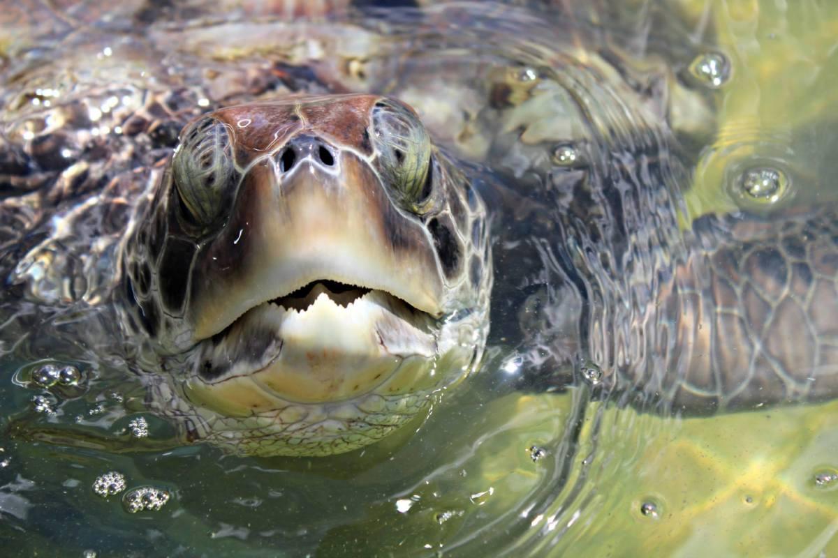 Peekaboo Sea Turtle
