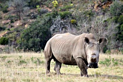 Rhino Contemplating