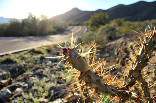 Cholla in the Sunset