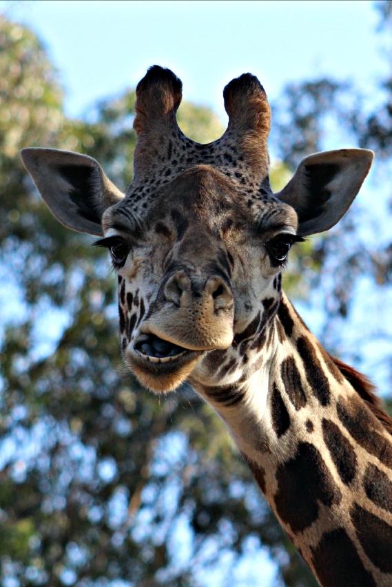 Talkative Giraffe